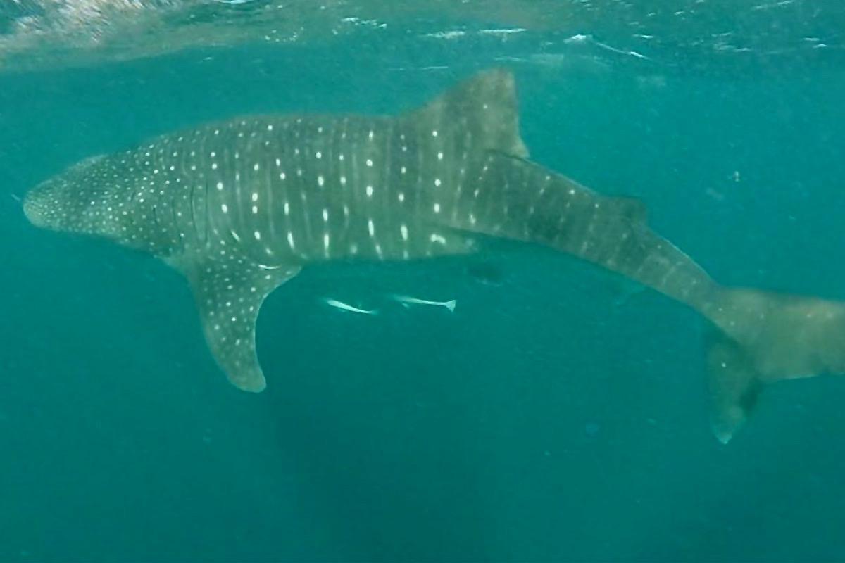 Schwimmen mit Walhaien in Australien – Ein unvergessliches Abenteuer!